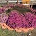Purple mums in bloom