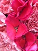 29th Nov 2018 - Pink carnation?
