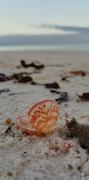 30th Nov 2018 - Sea shell by the sea shore