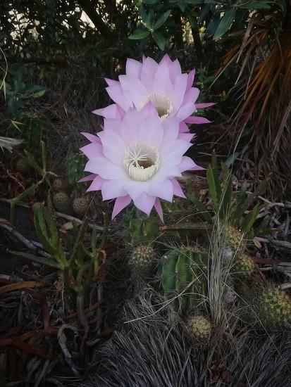 Cactus Flowers by salza