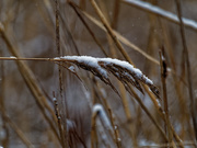 3rd Dec 2018 - prairie grass snow