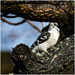 downy woodpecker by jernst1779