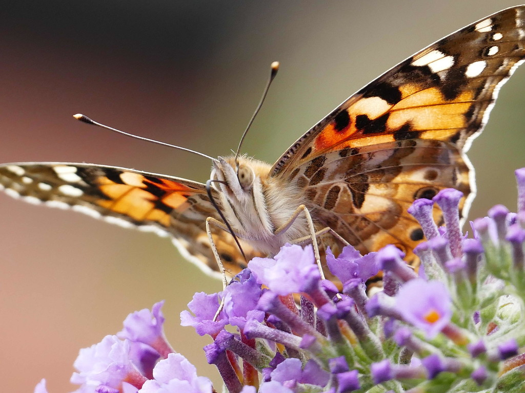 Painted Lady  by jesika2