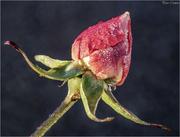 4th Dec 2018 - Ice Cold Rose
