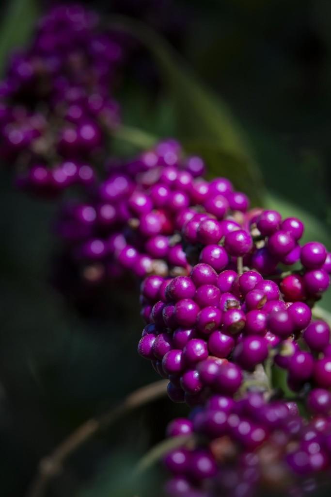 The Very Purple Berries by jyokota