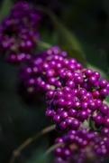 17th Nov 2018 - The Very Purple Berries