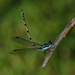 Damselfly attracting a mate