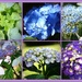 And some more Hydrangea's from my garden