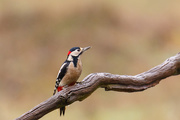 5th Dec 2018 - 2018 12 05 - Greater Spotted Woodpecker (male)