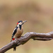 2018 12 05 - Greater Spotted Woodpecker (male)