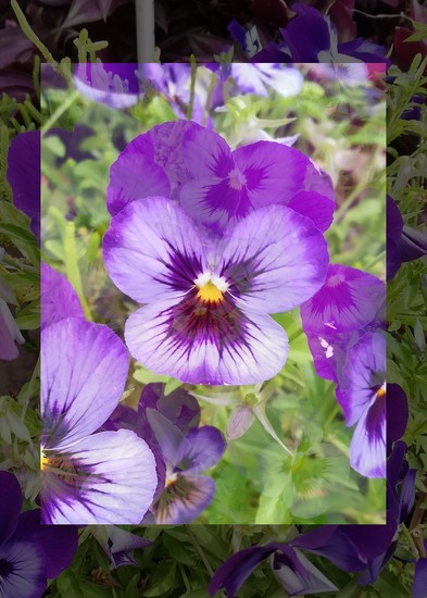 Pansies by salza