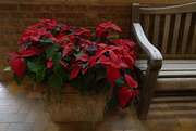 5th Dec 2018 - poinsettia and bench