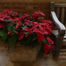 poinsettia and bench