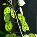 Green Seeds