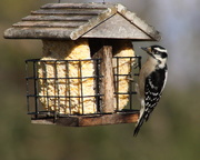 5th Dec 2018 - Lady Woodpecker Dining