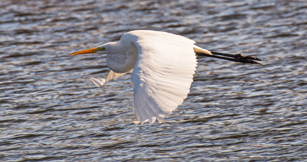 Egret Fly By! by rickster549