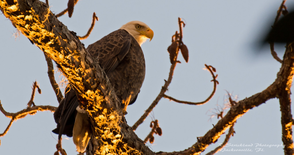 The Bald Eagle Checking Me Out! by rickster549