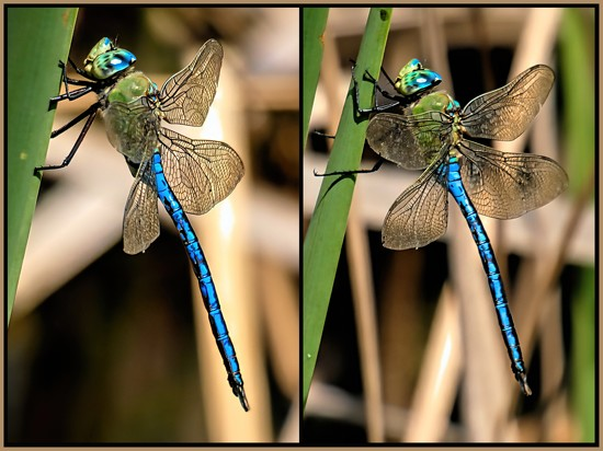 This restless Dragonfly by ludwigsdiana