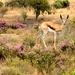 Young Springbok  by ludwigsdiana