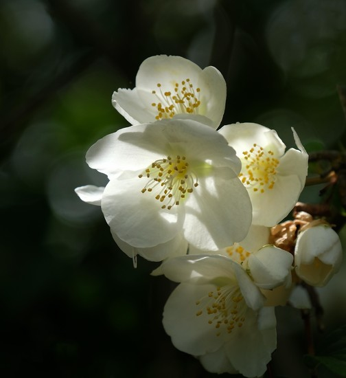 Mock orange blossom by maureenpp