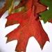 Swamp maple leaf