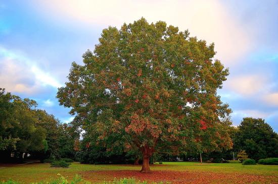 Autumn oak tree by congaree