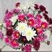 Chryanthemums