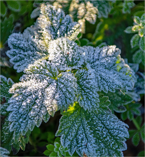 Frosty leaves by mave