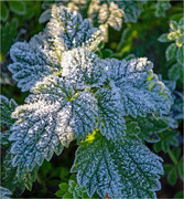 6th Dec 2018 - Frosty leaves