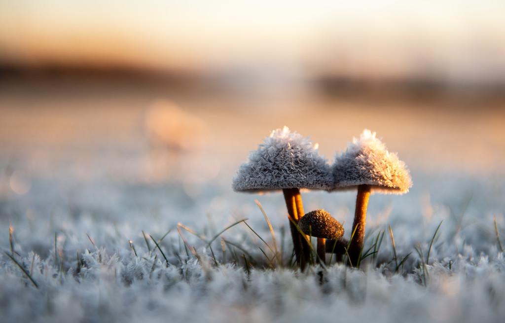 Frozen Mushrooms by kwind