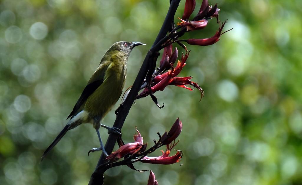 Bellbird poking out its tongue by maureenpp