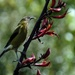Bellbird poking out its tongue