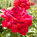 A rose  past it's prime