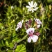 Native alpine flowers