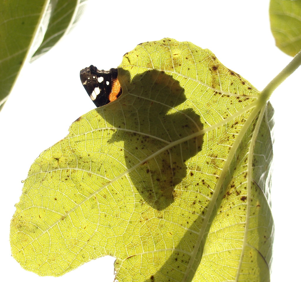 Red Admiral by jesika2