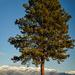 Ponderosa Tree II