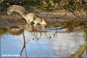 7th Dec 2018 - Thirsty squirrel
