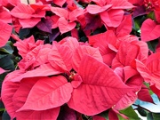 7th Dec 2018 -  RED Poinsettias ...........
