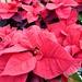 RED Poinsettias ...........
