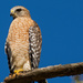 One Red Shouldered Hawk! by rickster549