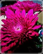 8th Dec 2018 - Chrysanthemums