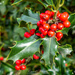 Holly Berries by carolmw