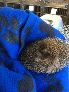 8th Dec 2018 - Second hedgehog caught!