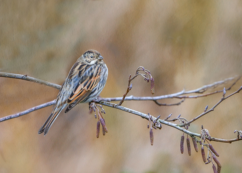 Reed Bunting by inthecloud5
