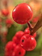 9th Dec 2018 - Christmas berries.