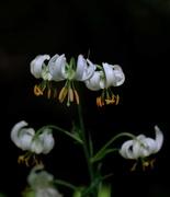 9th Dec 2018 - White lily