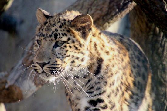 Leopard Cub by randy23
