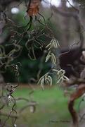 7th Dec 2018 - Corylus avellana Contorta