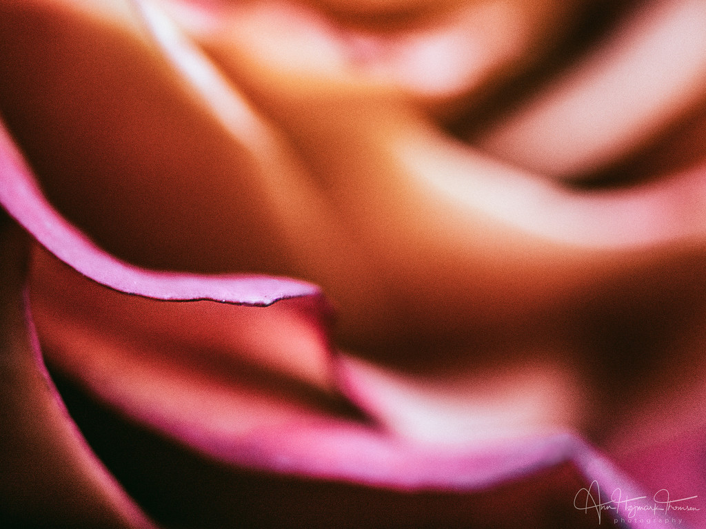 A rose... by atchoo