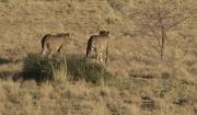 27th Nov 2018 - Cheetah Sanctuary